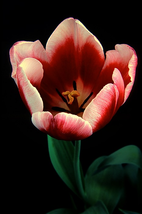 http://www.edsphotos.us/tulip-close_std.jpg
